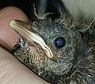 Bild eines Amseljungen-erstmals die Augen auf